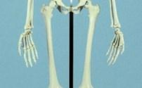 Anatomie model. Skelet, gemonteerd op standaard, hoogwaardige kwaliteit