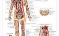 Scholing, Anatomie, Poster, Lymfesysteem