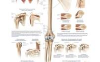 Scholing, Anatomie, Poster Schouder en Elleboog