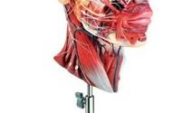 Scholing, Anatomie, Hoofd, Hersens
