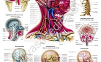 Scholing, Anatomie, Poster Hoofd en Neck